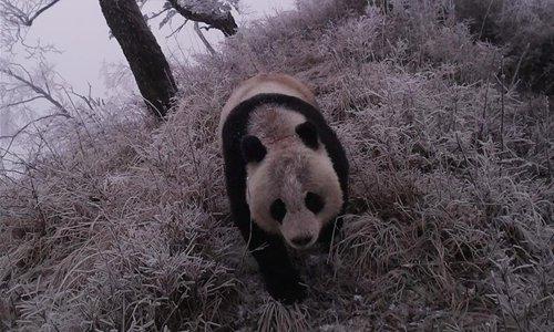 Infrared camera captures wild giant panda in NW China's Gansu