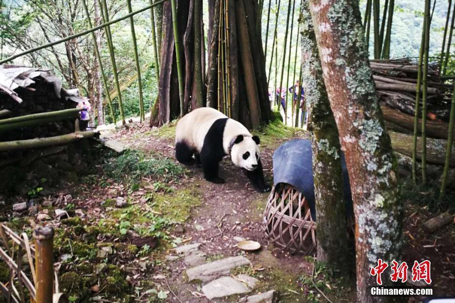 Panda wanders into Sichuan village