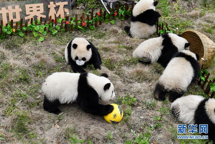 Panda's World Cup comes!