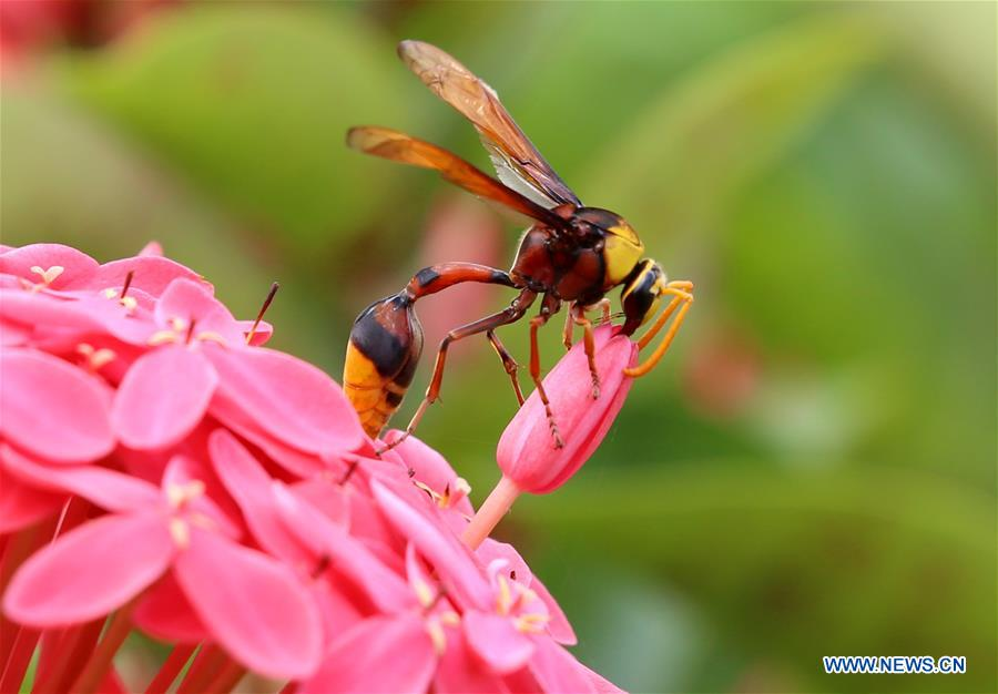 Wasp, butterfly collect pollen from flowers in Nay Pyi Taw, Myanmar