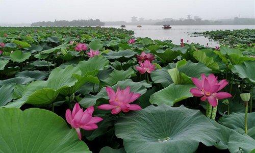 Tourists enjoy lotus at Nanhu Park in Hebei