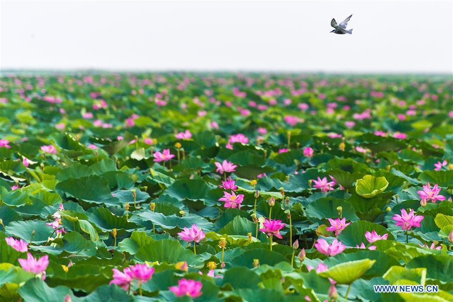 Government takes measures to rehabilitate Honghu Lake in China's Hubei