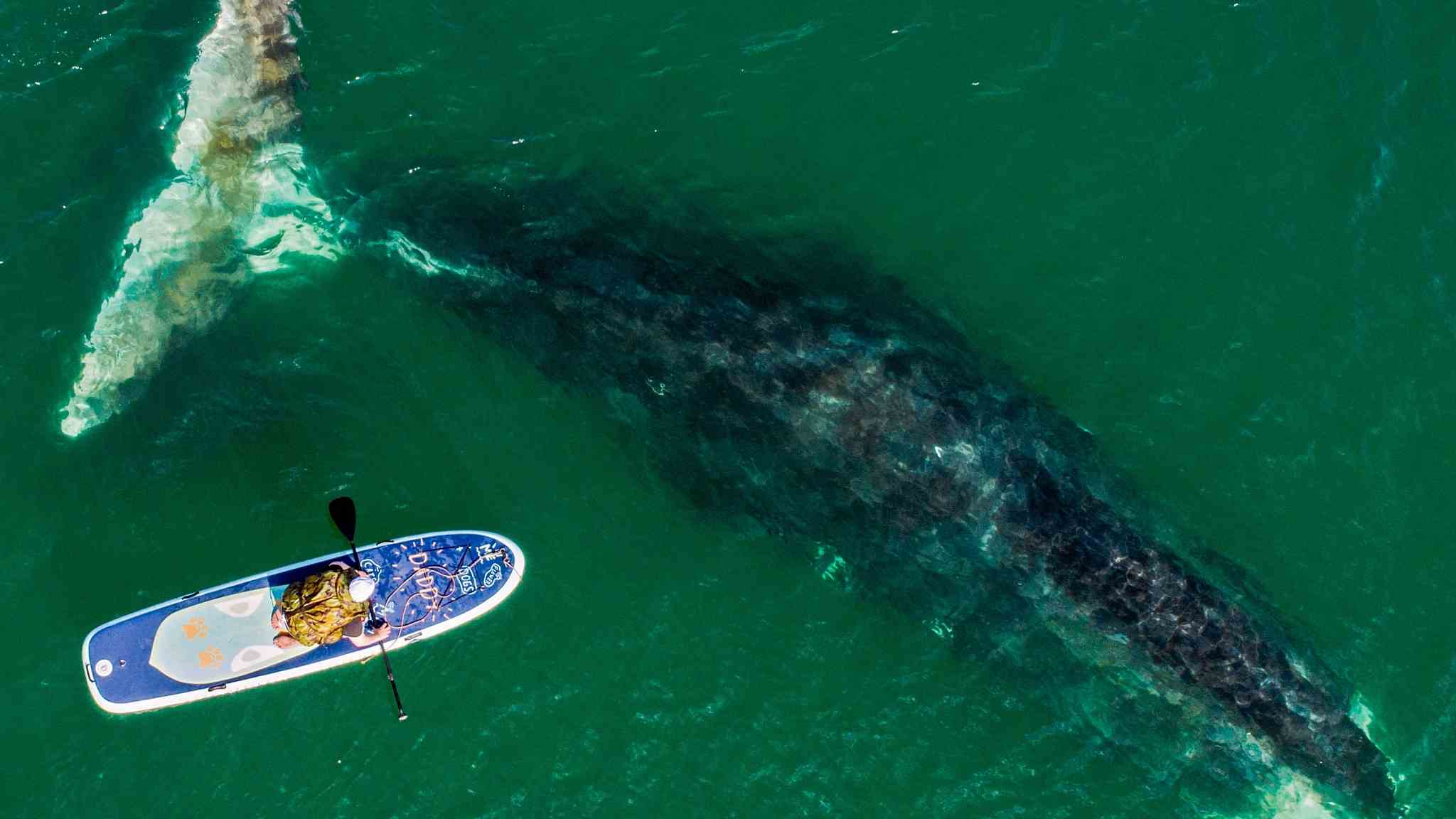 A surfer's close encounter with a bowhead whale