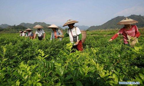 Tea fields enter autumn harvest season in Zhangjiajie, C China