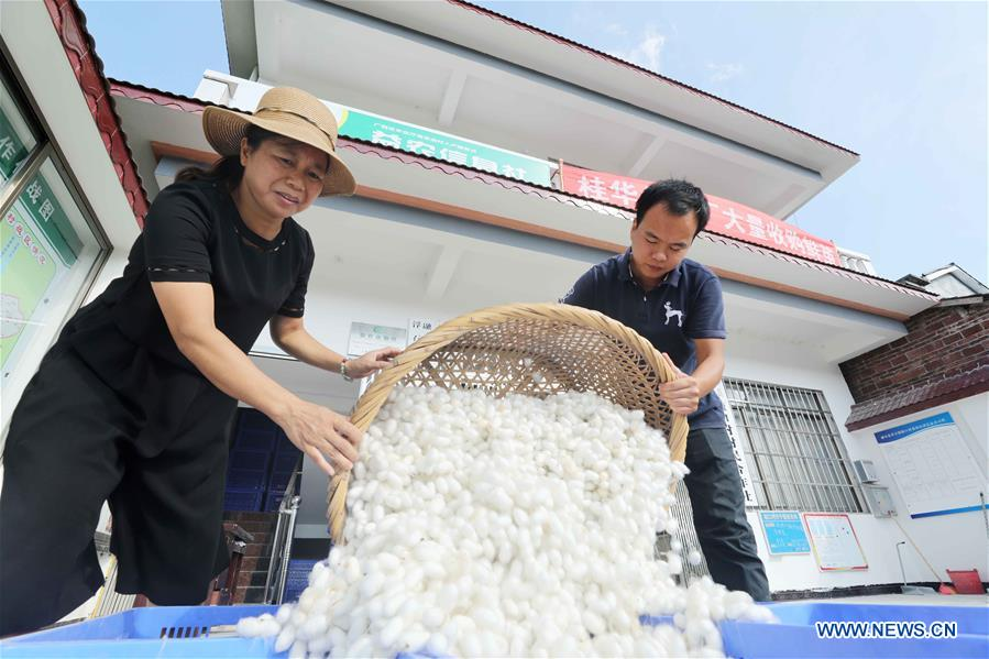 In pics: silkworm industry in Aikou Village, S China's Guangxi
