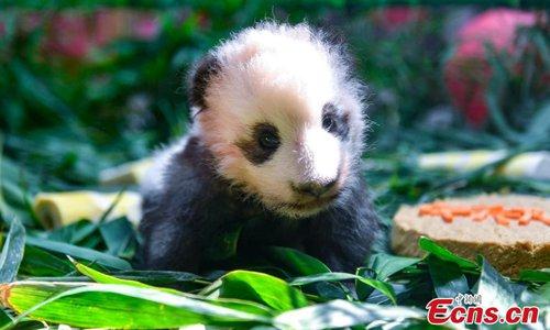 Giant panda cub meets public in Guangzhou