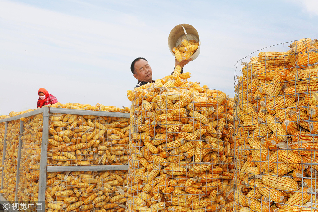 Corn harvest season in east China
