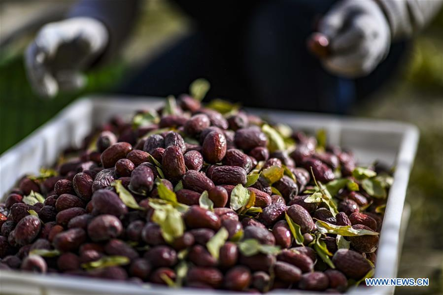 Red dates harvested in northwest China's Xinjiang