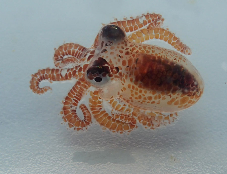 Scientists find tiny baby octopus floating on Hawaii trash