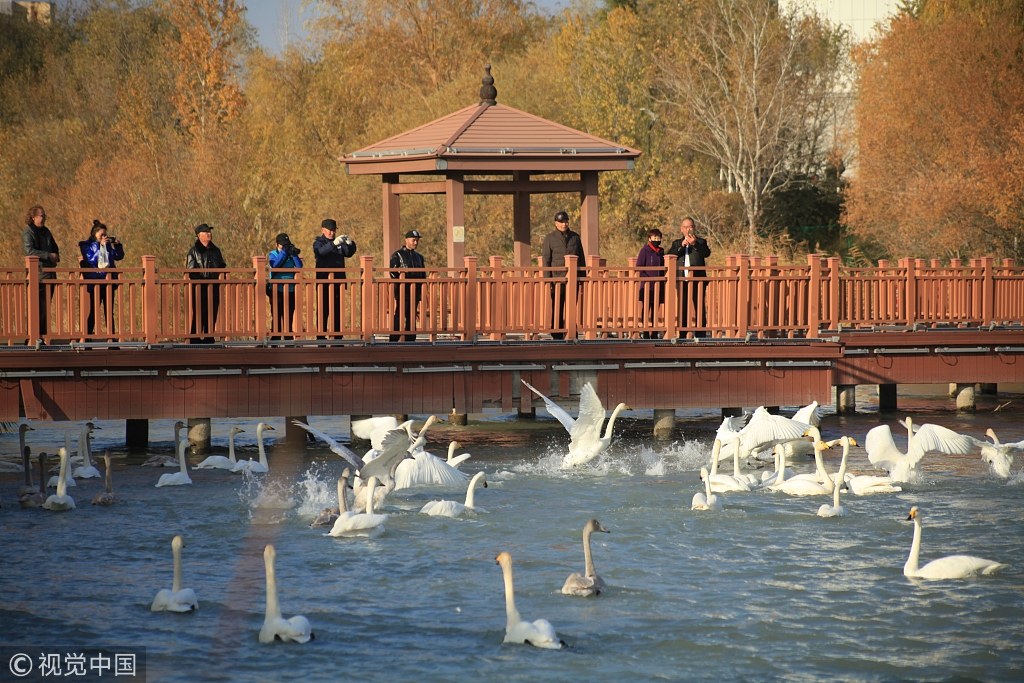 Hundreds of swans arrive at their winter home in Xinjiang