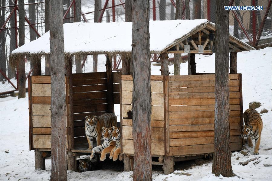 Siberian tigers play at China Hengdaohezi Feline Breeding Center
