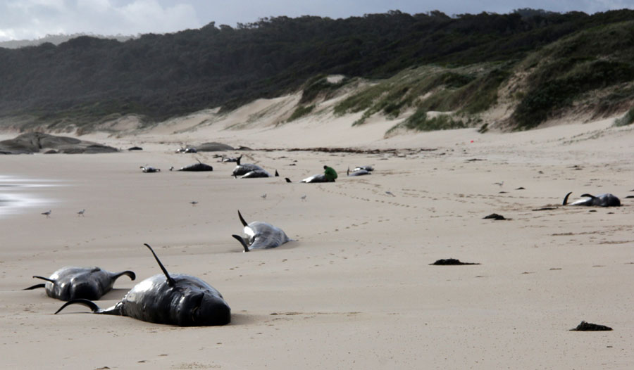 This handout photo from Parks Victoria taken and released on November 28, 2018 shows dead whales on a beach in Croajingolong National Park in Victoria state. [Photo: Handout / PARKS VICTORIA / AFP]