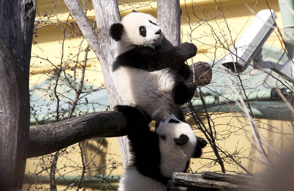 The giant panda twins Fu Feng and Fu Ban sit in their enclosure at Schoenbrunn Zoo in Vienna, Austria, March 3, 2017. [Photo: IC]