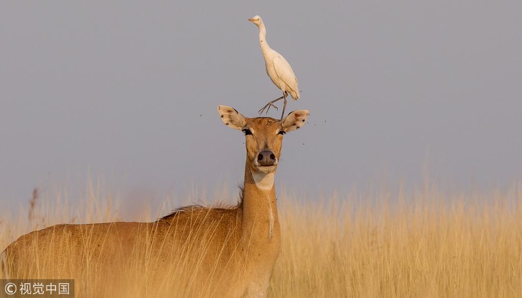Friendship between egret and antelope