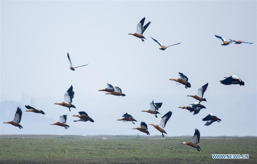 Poyang Lake sees flock of migratory birds overwintering