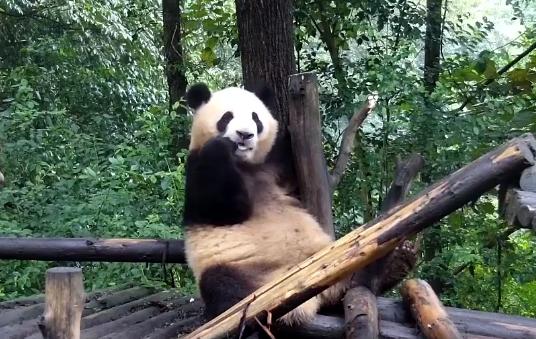 Screen grab shows panda cub, currently named Fushun, at the Giant Panda Research Base in Chengdu. [Photo: iPanda.com]