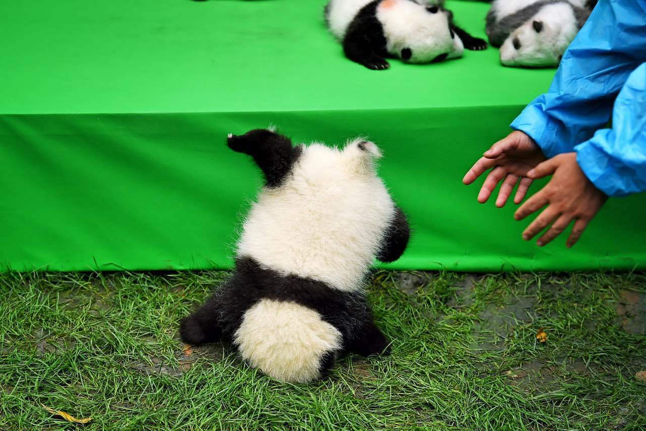 Photo of Fushun falling face-first off a stage during its first public display at the Chengdu Research Base of Giant Panda Breeding, Sichuan Province, September 29, 2016. [File photo: IC]