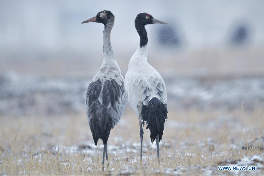 Black-necked cranes in Lhasa, China's Tibet