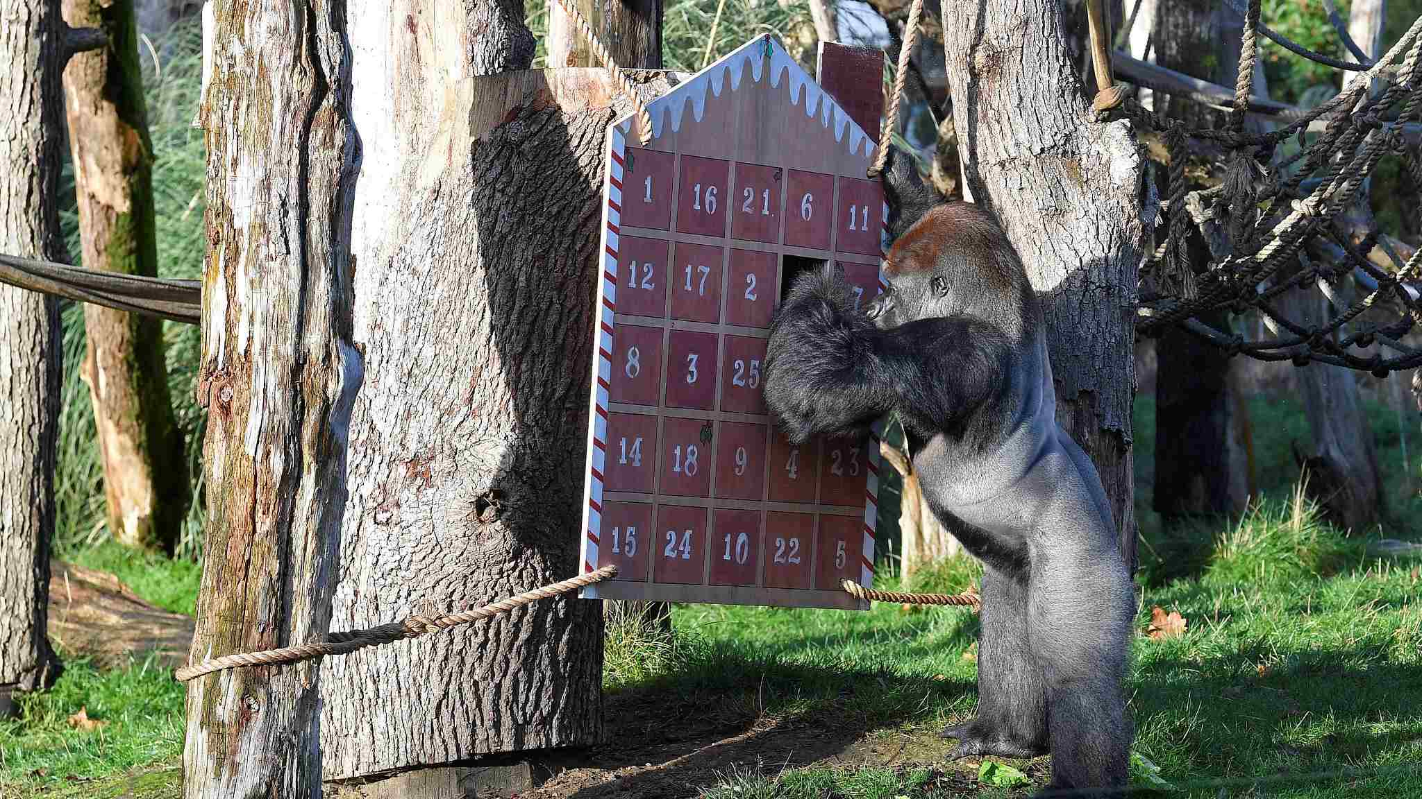 What's in my Christmas stocking? Animals surprised with holiday treats at London zoo