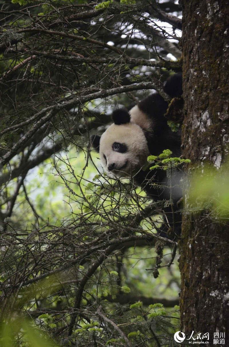 "Giant panda ""Qinxin"" [Photo: people.cn]"