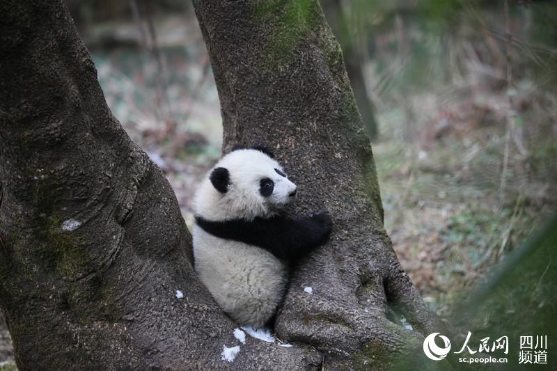 "Giant panda ""Little walnut"" [Photo:people.cn]"