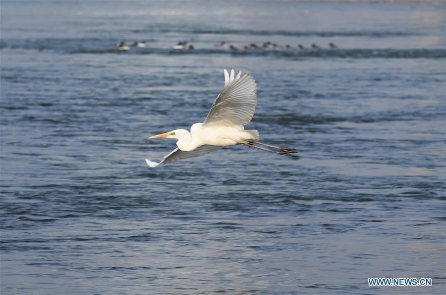 Water birds spend winter on Yellow River in Lanzhou