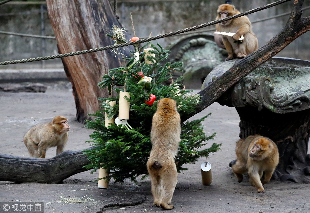 Leftover Christmas trees reused as toys and food in German zoo
