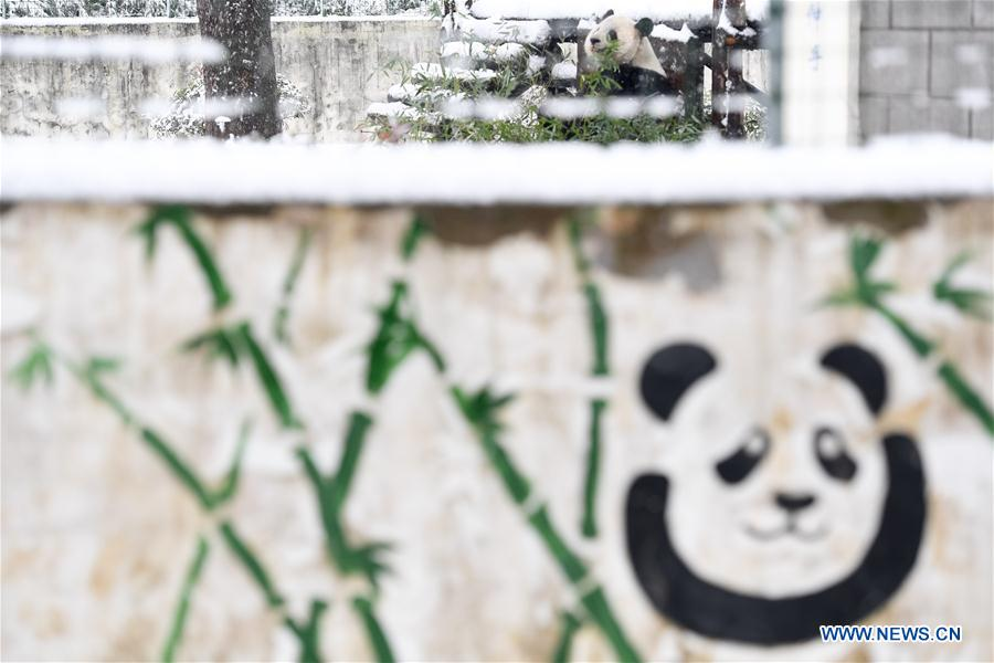 Giant panda eats, plays at snow-covered zoo