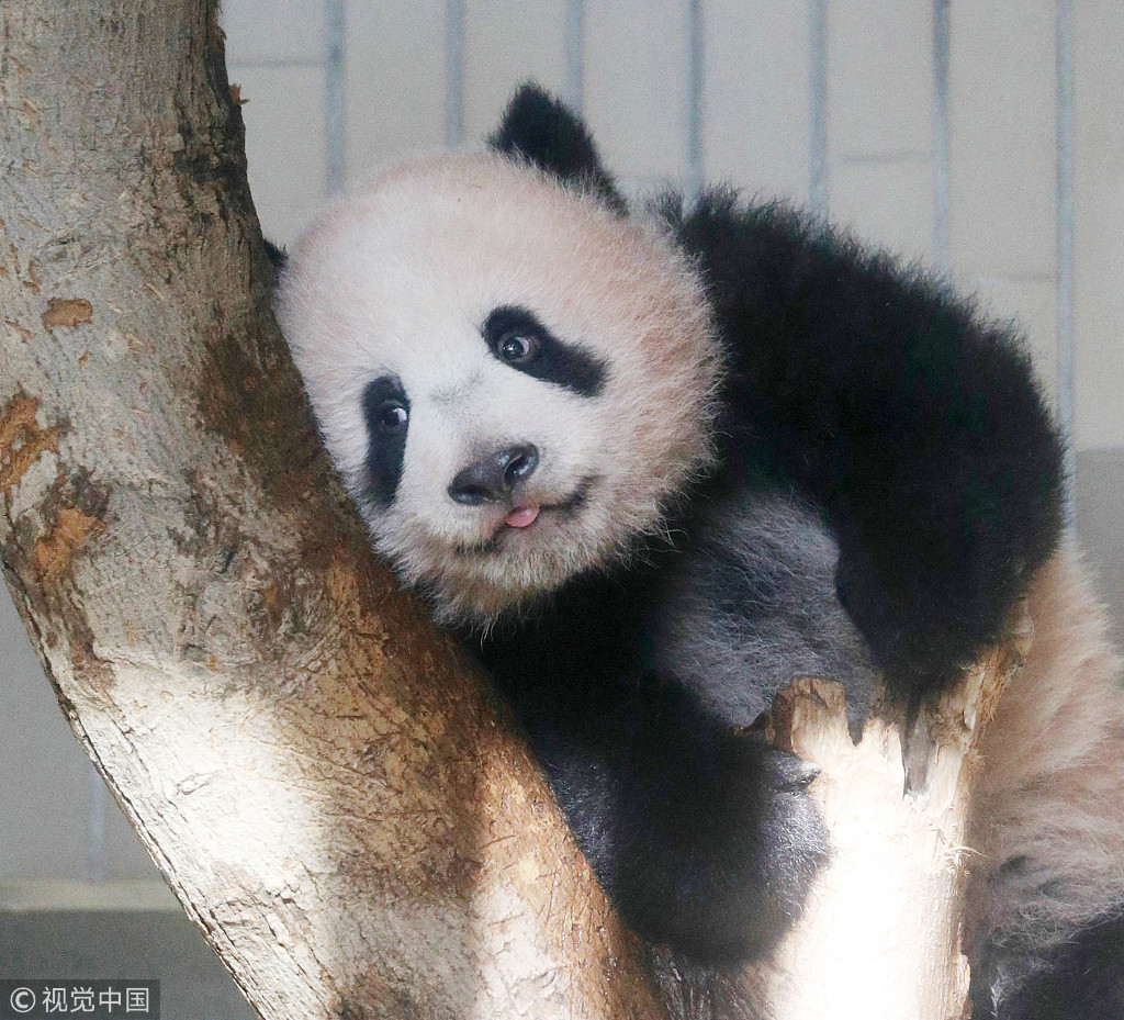 Female giant panda cub Xiang Xiang is shown to the media during a press preview at Ueno Zoo in Tokyo, Japan, Monday, Dec. 18, 2017. [File photo: VCG]