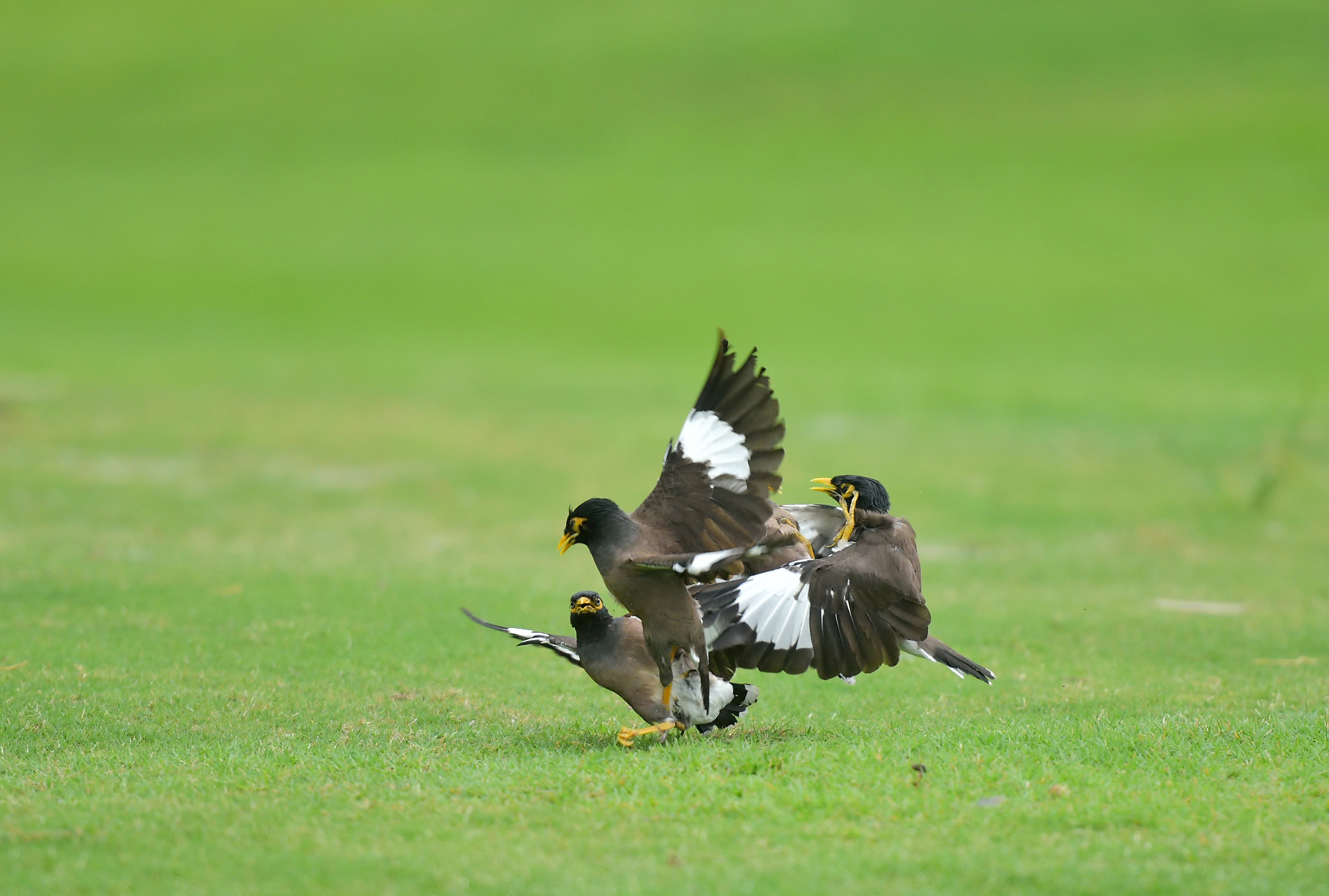 Indonesian birds spotted 'fighting' mates on golf course