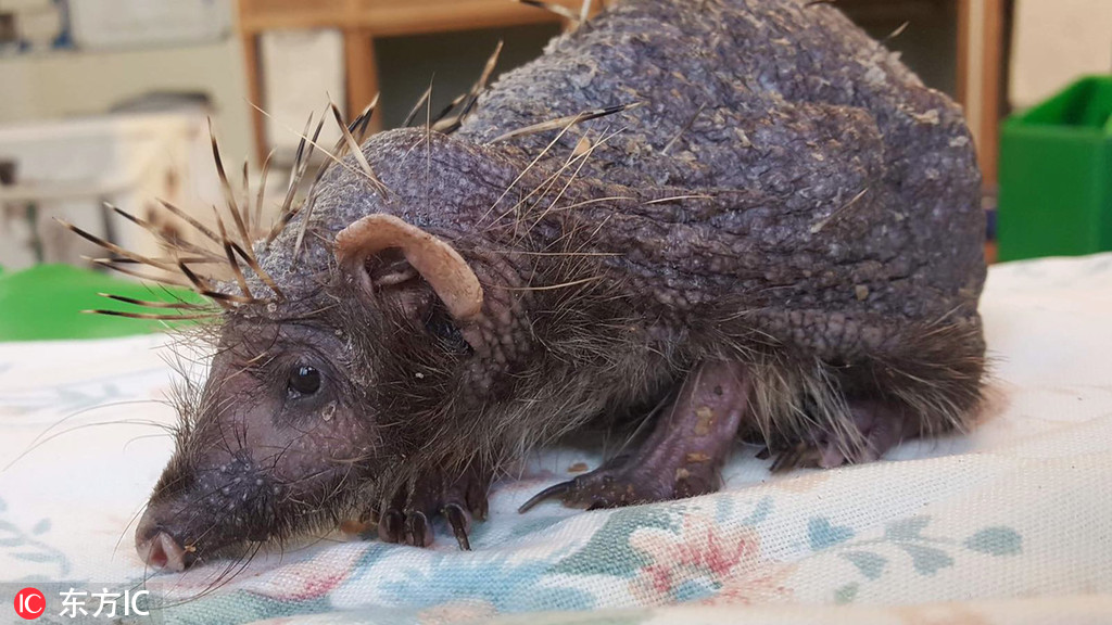 Hedgehog receives massages to help cure stress-induced baldness