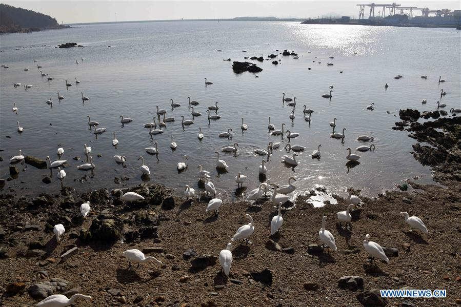 Swans spend winter at Yandunjiao bay in Rongcheng, E China's Shandong