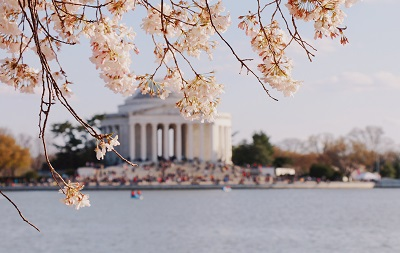 Pics: Cherry blossoms reach peak  bloom in DC