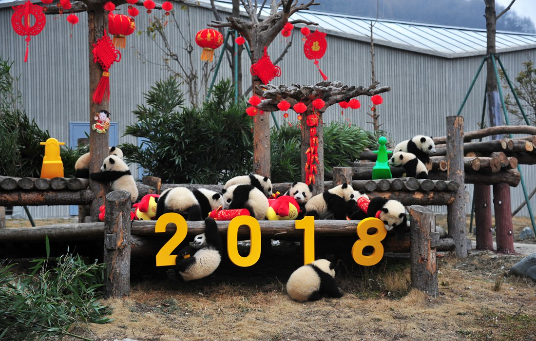 Panda cubs born in 2017 made their public debut on Chinese New Year's eve in SW China's Sichuan