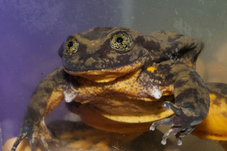 Bid to find a Valentine for Romeo, world's 'loneliest frog'