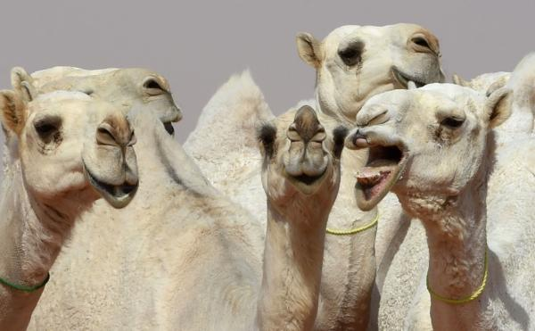 A dozen camels banned from Saudi beauty pageant for Botox use