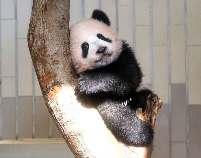 Japan's latest overtime example? Xiang Xiang the panda