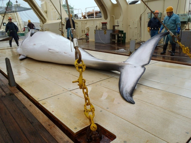 Japan seeks upgraded whaling ship as PM vows to continue hunts