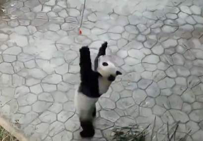 Video: Zookeepers 'fish' pandas by food to train their upper body