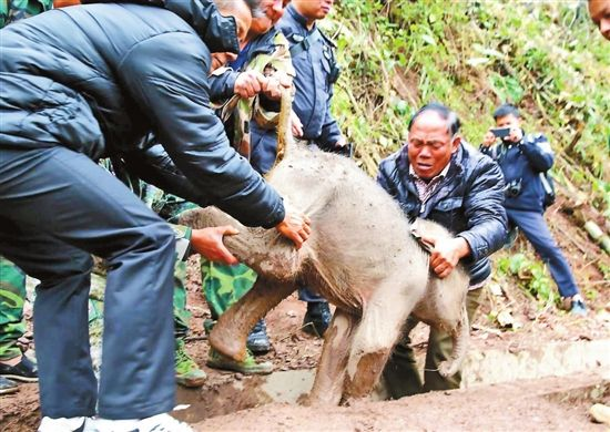 Video: Baby wild elephant rescued after falling from hill