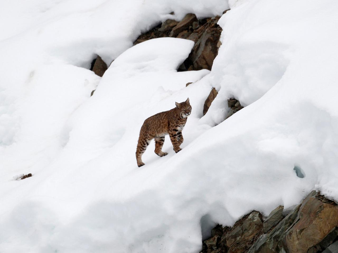 Canada lynx no longer threatened by extinction