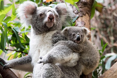 Outrage after koala found screwed to pole in Australia