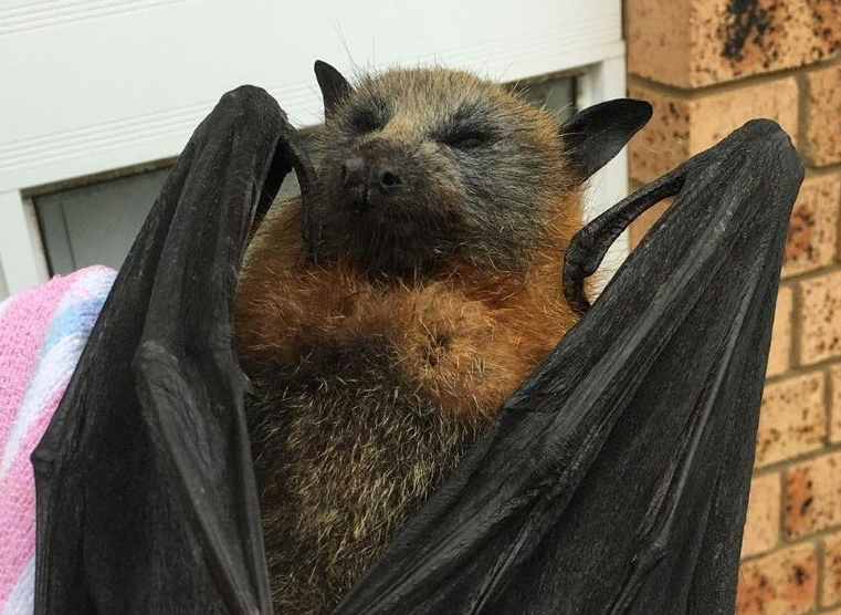 Bats' brains boil in Australia heatwave