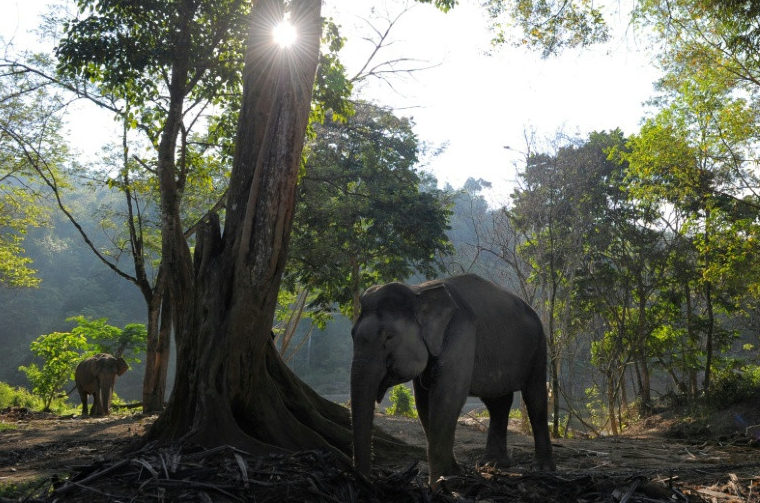 Pregnant elephant 'poisoned' in Indonesian palm plantation