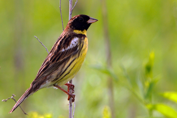Image result for yellow-breasted bunting  Reuters