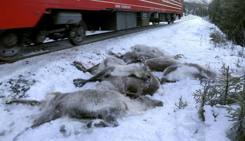 Norwegian train kills reindeers again