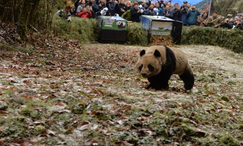 Panda pair released in wild to test adaptation and increase population