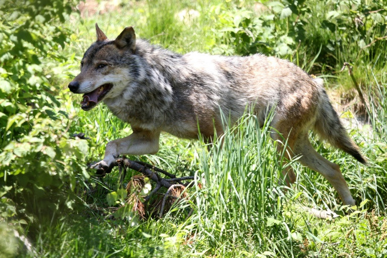 Raging debate: Does culling wolves curb poaching?