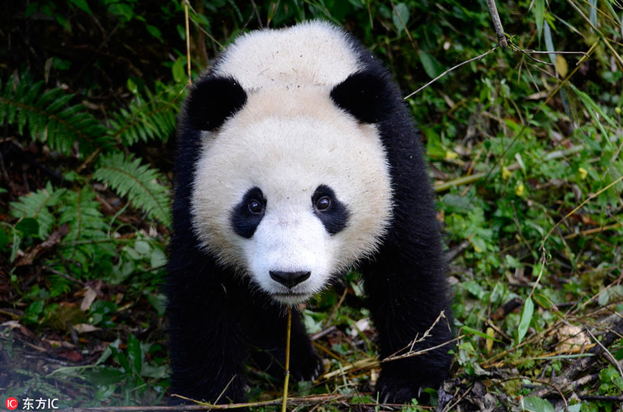 Giant panda pair to be released into wild tommorrow