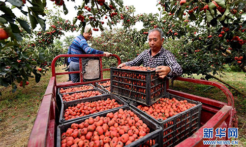 Hawthorns harvested in North China's Hebei
